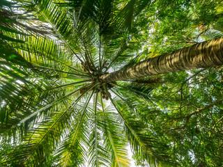 Palm Tree (ヤシの木) in My Tho, Vietnam