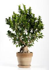 Ginseng Ficus Bonsai Tree on Brown Pot