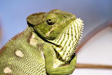 Carpet Chameleon (Furcifer lateralis) - Rare Madagascar Endemic