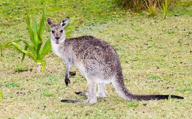 wet kangaroo