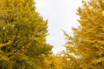 イチョウ 秋 Ginkgo tree Autumn