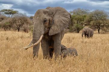Elephant Nursing