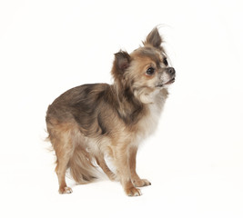 chihuahua standing looking to the side