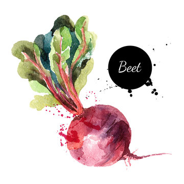 Beet. Hand drawn watercolor painting on white background. Vector