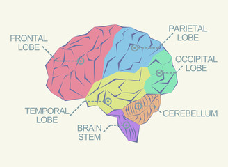 Anatomy of the brain as abstract illustration