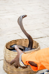Indian Cobra and charmer hand