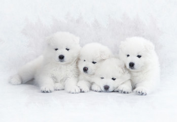 Four Samoyed puppies