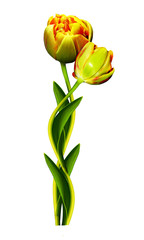 Dutch tulip isolated on white background
