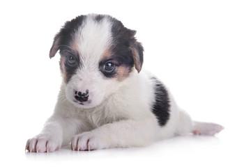 little puppy crossbreed
