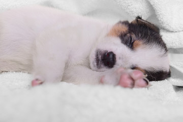 puppy on a white blanket
