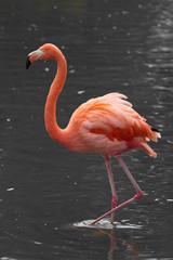 """Rosa Flamingo steht im Wasser """"Phoenicopterus roseus"""""""