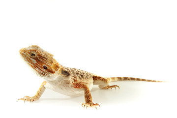 Pet lizard Bearded Dragon isolated on white, narrow focus