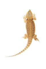Pet lizard Bearded Dragon isolated on white, narrow focus