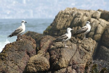 Algarrobo Marine wildlife - seagulls