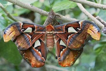 Farfalla Alata