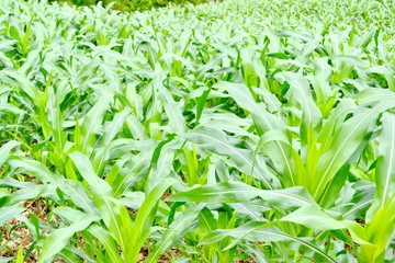 green field of corn growing up at Thailand