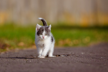 small grey and white kitten