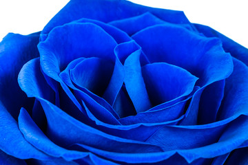 perfect blue rose on a white background