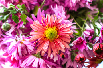 autumn garden chrysanthemum flower