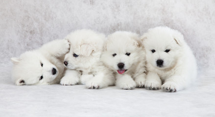 One month old Samoyed puppies