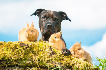 American staffordshire terrier with little rabbits