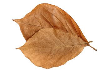 Brown Magnolia leaves