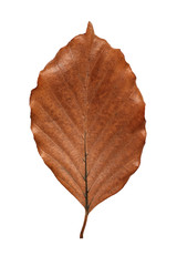 Brown beech leaf