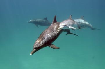 Dolphins(イルカの親子)