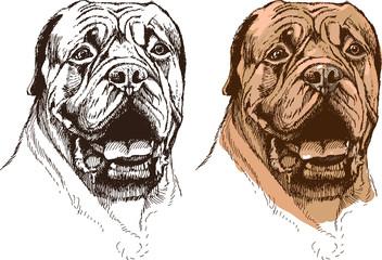 portrait of boxer dog