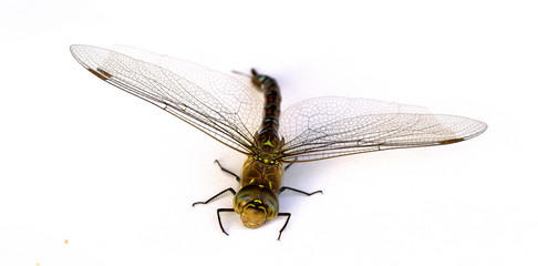 Dragonfly on white background. Isolate. Close-up.