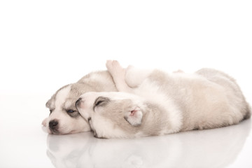 Siberian husky puppies on isolated background