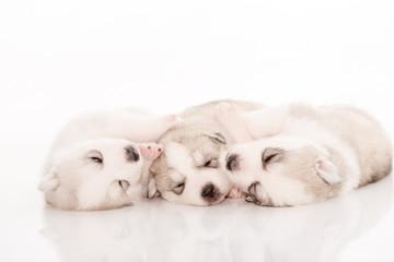 Siberian husky puppies on isolated background