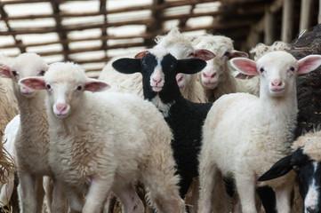 Cerca immagini: agnellino