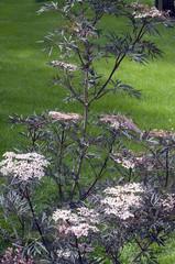 Holunder; Sambucus nigra; Black Lace;