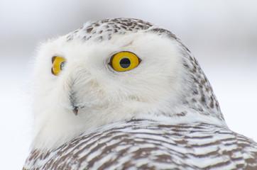 Fotobehang - Snowy owl