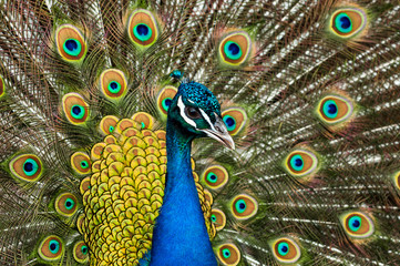 Attractive peacock