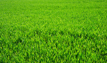 Background of a green grass