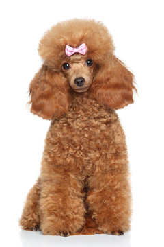 Toy poodle with pink bow
