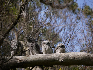 Camouflaged Tawny Frogmouth family in a tree