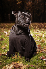 Face of Staffordshire bull terrier