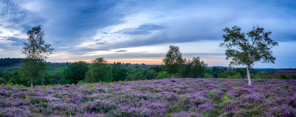 Wall Mural - New Forest Heather