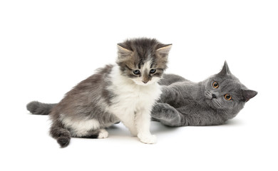 kitten and gray cat isolated on white background