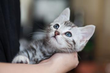 Spoed Fotobehang Kat 猫 アメリカンショートヘア