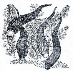 Leeches: Hirudo medicinalis (left), Haemopsis sanguisuga