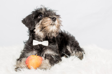 portrait puppy miniature Schnauzer black isolated