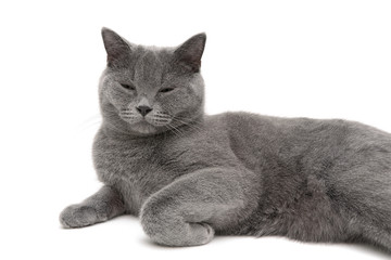 gray cat sleeping on a white background close-up