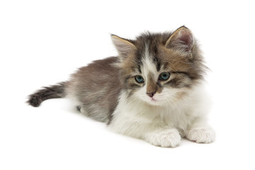 fluffy kitten lies on a white background close-up