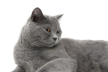 beautiful gray cat (age 11.0 months) lying on a white background