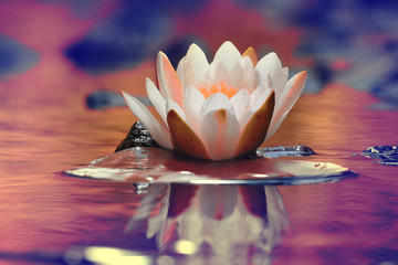 Wall Murals Water lilies lily white autumn pond