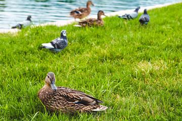 duck, duck history